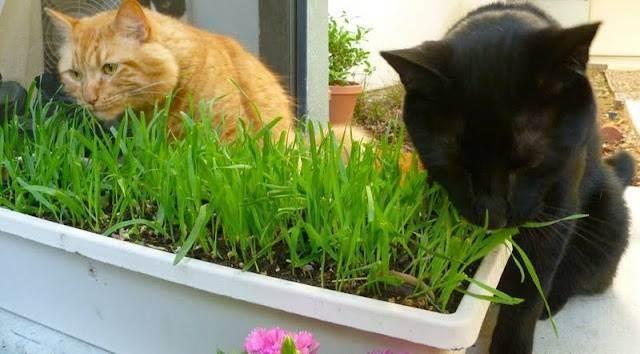 Как прорастить овес дома для кошки