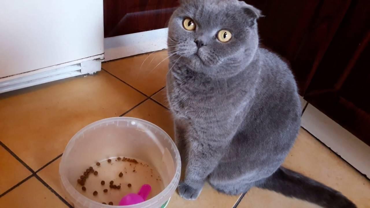 Чем кормить шотландских кошек? можно ли давать молоко кошке 2 месяцев? правила питания взрослых котов в домашних условиях