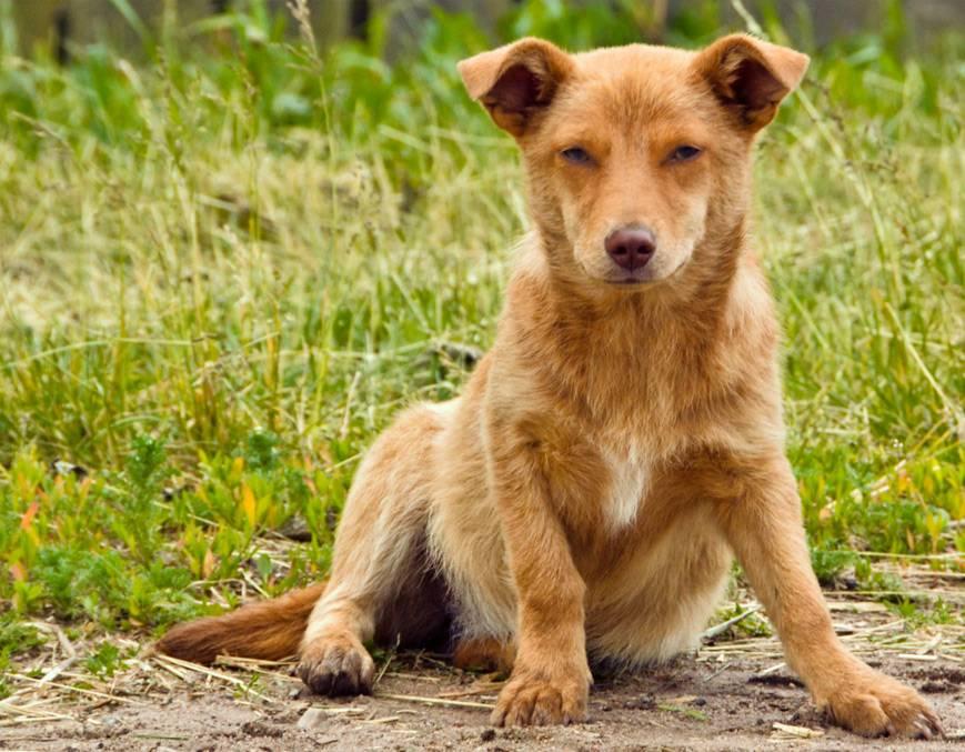 Собака двортерьер, или дворняга — собака не хуже породистых