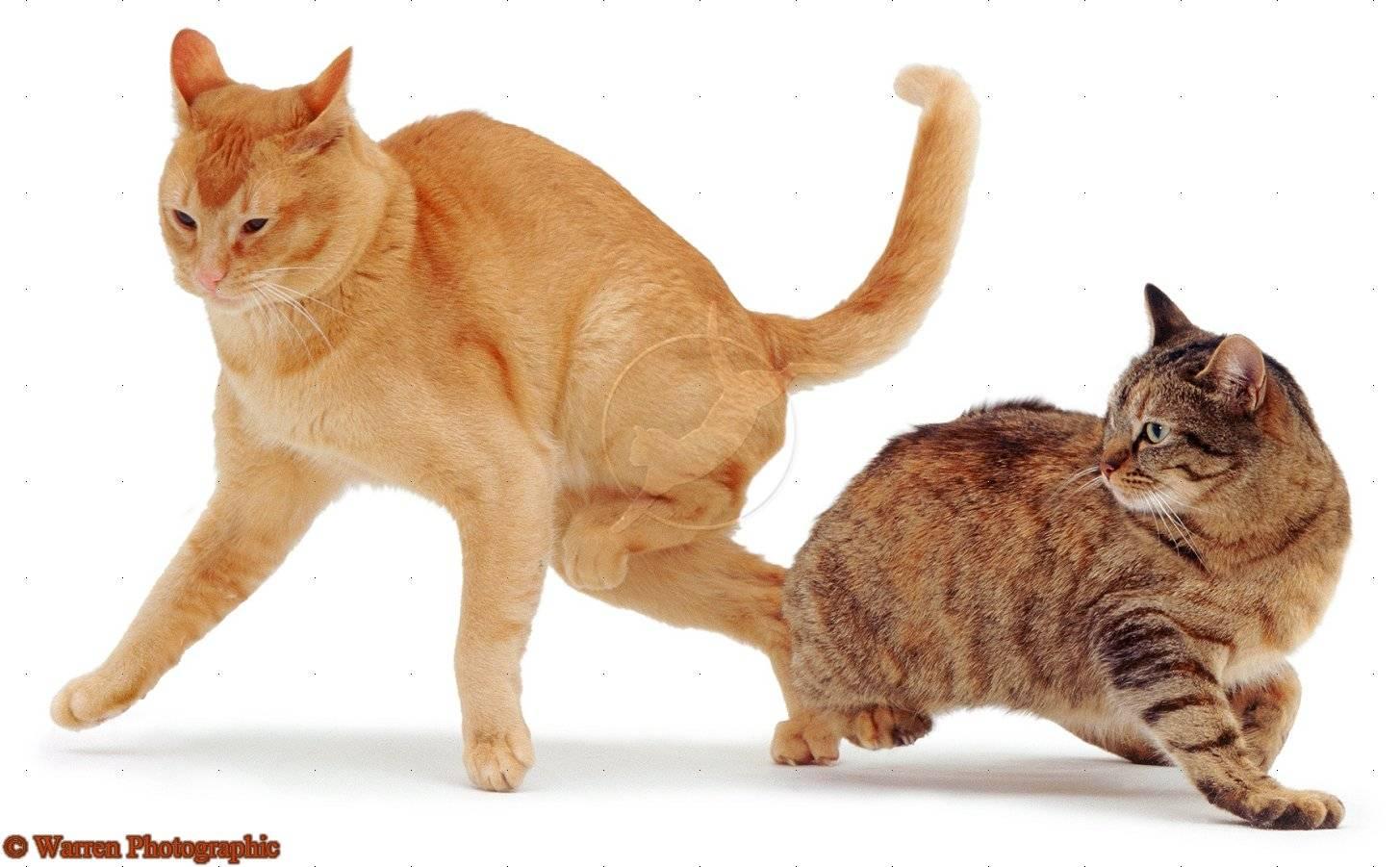 Кошка после вязки продолжает просить кота, беременна ли она?