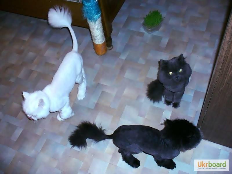 Можно ли стричь кошек?