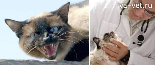 Лечение кашля кота в домашних условиях