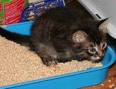 Запор у кошки - возможные причины