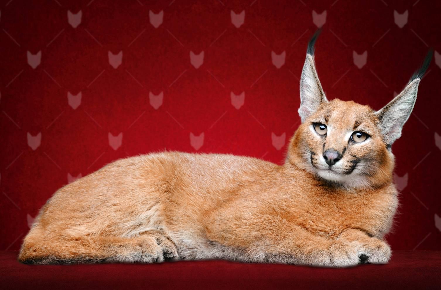 Виды и описание кошек с кисточками на ушах