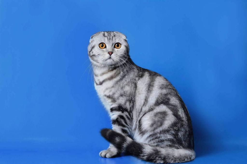 Британская вислоухая кошка: что это за порода, действительно ли она существует, фото