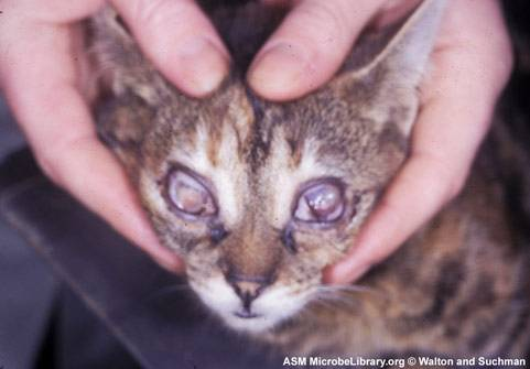Симптоматика ринотрахеита и кошки: способы самостоятельного лечения дома