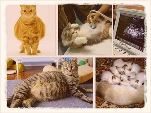 Сколько длится беременность у кошек: примерный срок, первые признаки