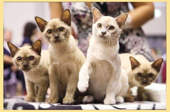 Гипоаллергенные питомцы: породы кошек, не вызывающие аллергию