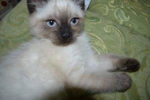 Клички для сиамских кошек и котов