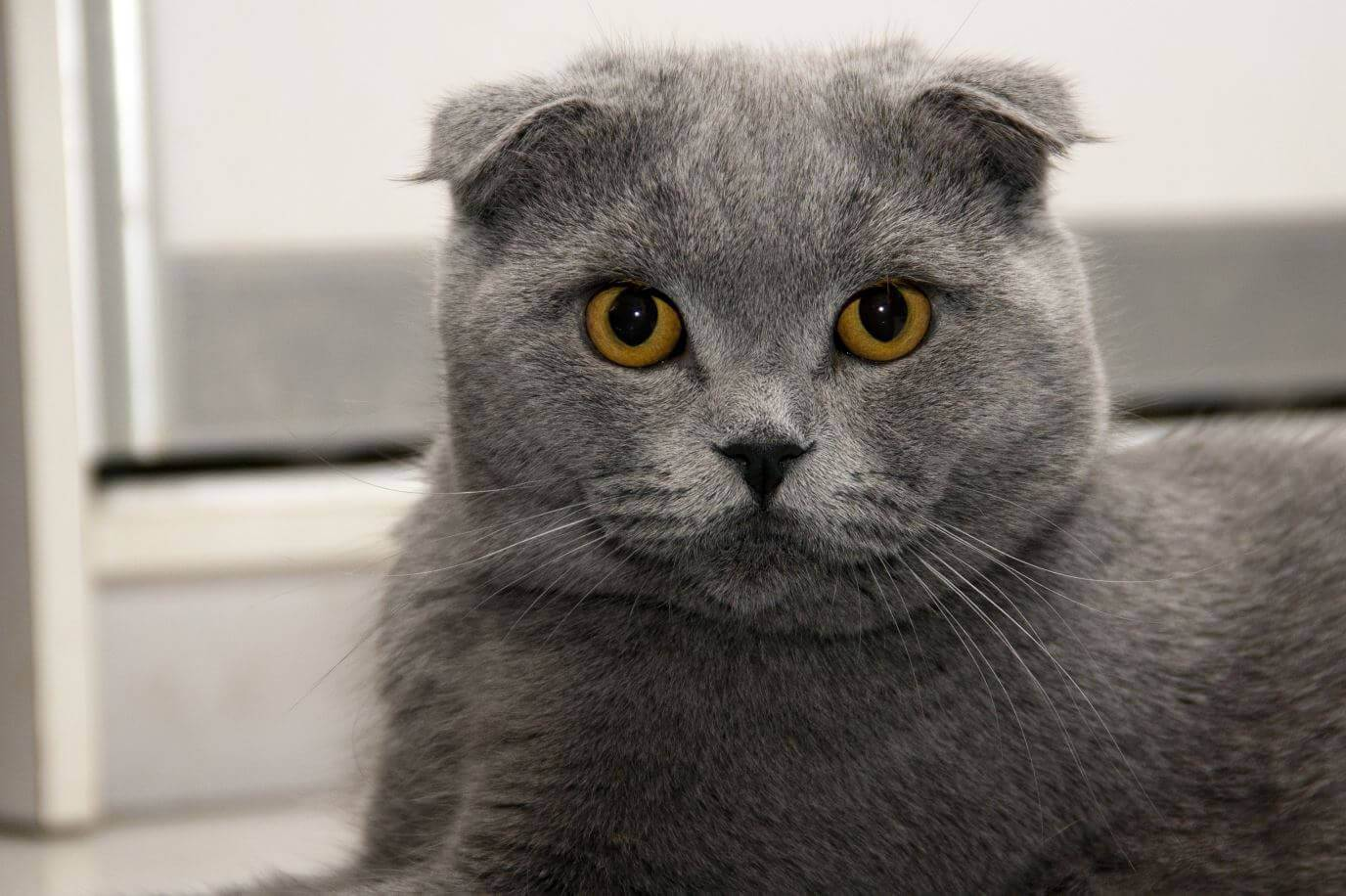 Шотландская порода кошек: описание, характер, особенности содержание породы