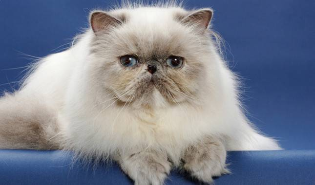 Персидская кошка – пушистая аристократка с востока