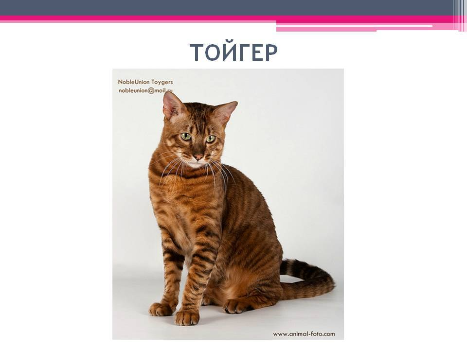 Тойгер: фото, описание, характер, содержание, отзывы