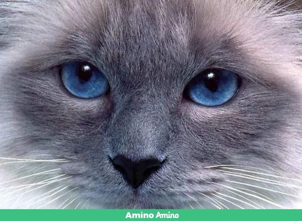 Белые кошки с голубыми глазами: порода, названия и описание