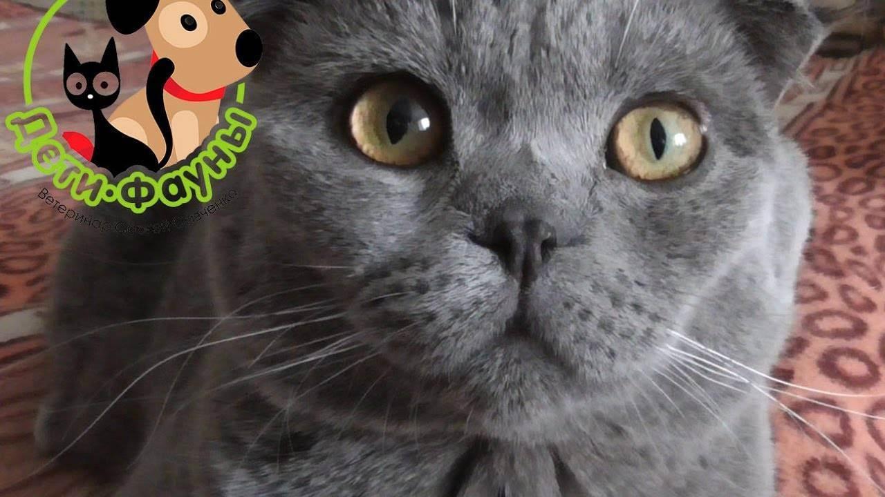 Кот сопит носом когда спит. почему шотландский и британский кот сопит и храпит во сне? питание и храп. есть ли что — то общее между ними