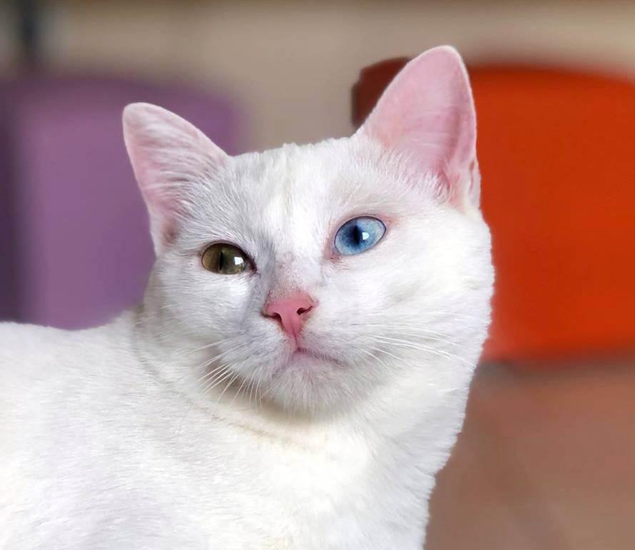 Кошки с глазами разного цвета (31 фото): описание белых и черных котов с гетерохромией. список пород котят с разноцветными глазами