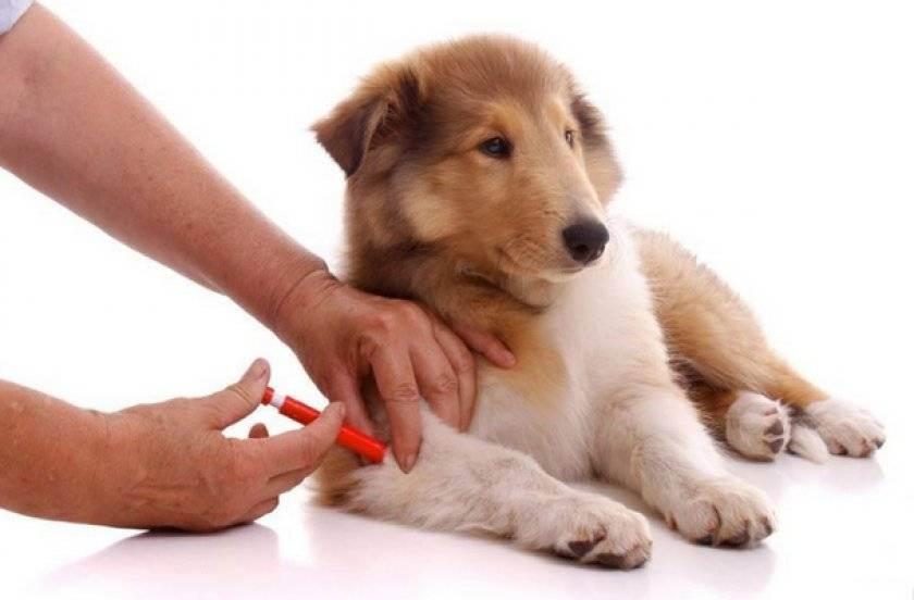 Всё о вакцинации собак