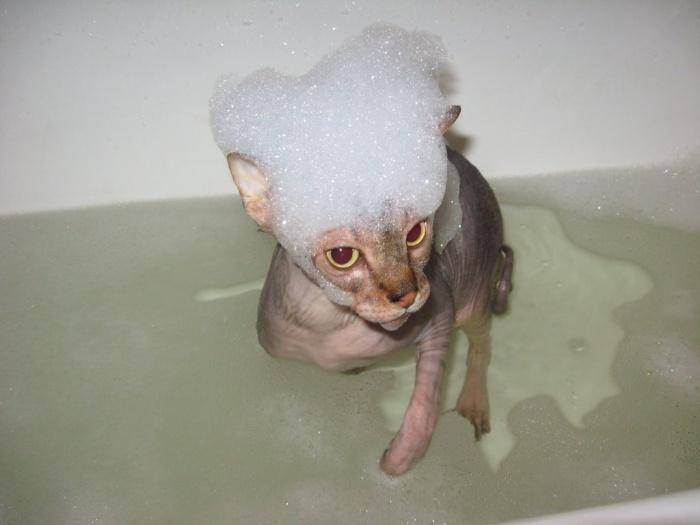 Как часто купать сфинкса, ход процедуры, что делать, если кошка не хочет мыться