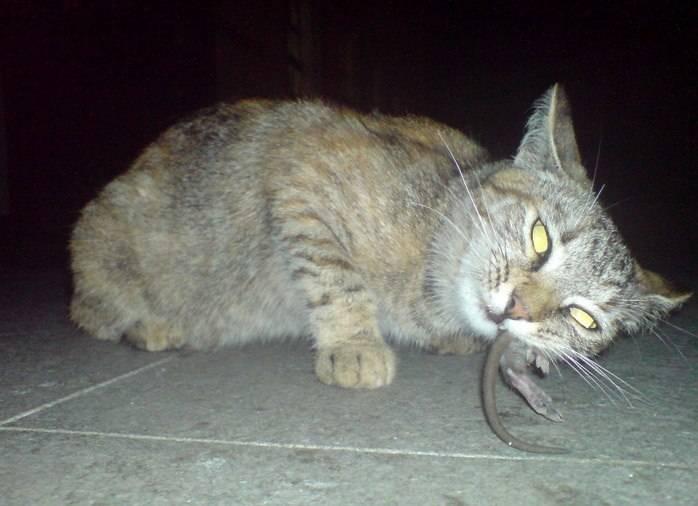 Кошки-крысоловы: что о них нужно знать