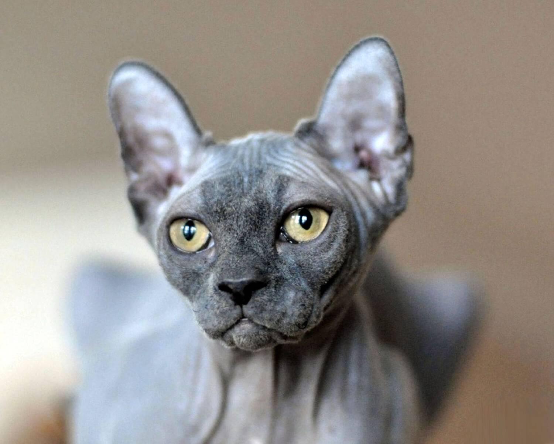 Эльф: кошка сфинкс с загнутыми ушами