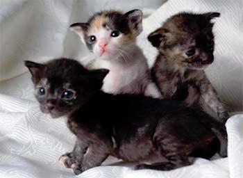 Значение прибавки веса у новорожденных котят