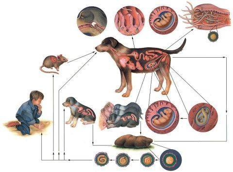 Можно ли заразиться глистами от кошки: пути заражения, профилактика и народная медицина