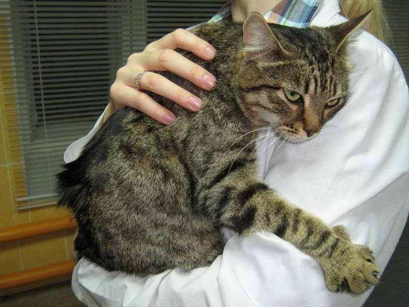 Как вывести шерсть из желудка кошки народными средствами. паста для выведения шерсти из желудка кошки в домашних условиях: инструкция. о средствах для очищения желудка