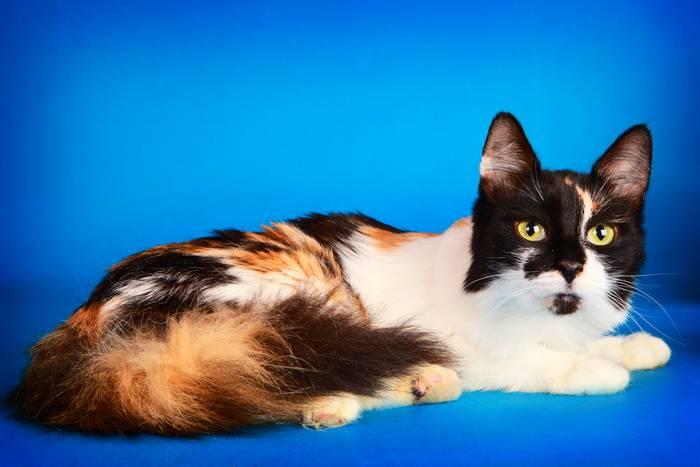 Существуют ли в природе трехцветные коты или только кошки: интересные факты