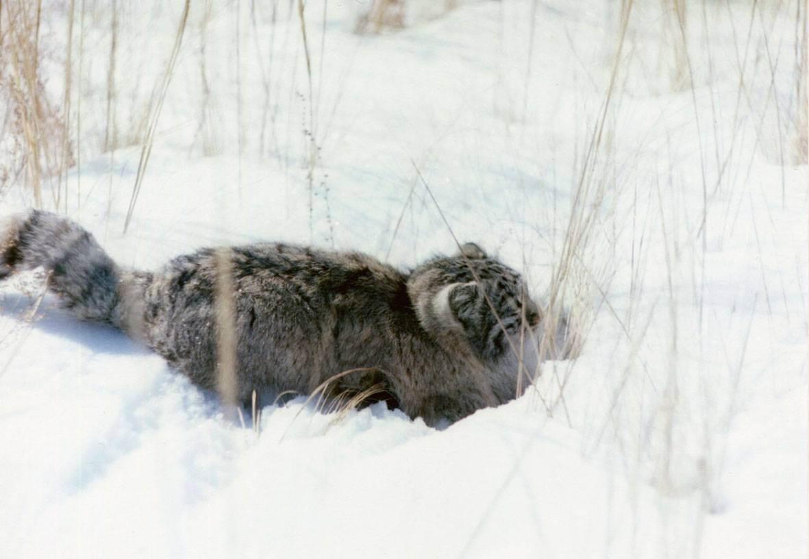 Красавец манул — обитатель дикой природы