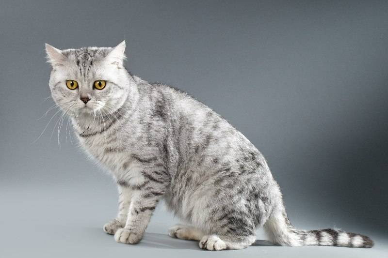 Окрас вискас шотландского вислоухого кота, как у котенка из рекламы