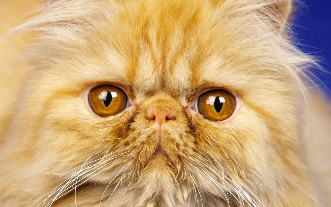 Сколько лет живет персидская кошка