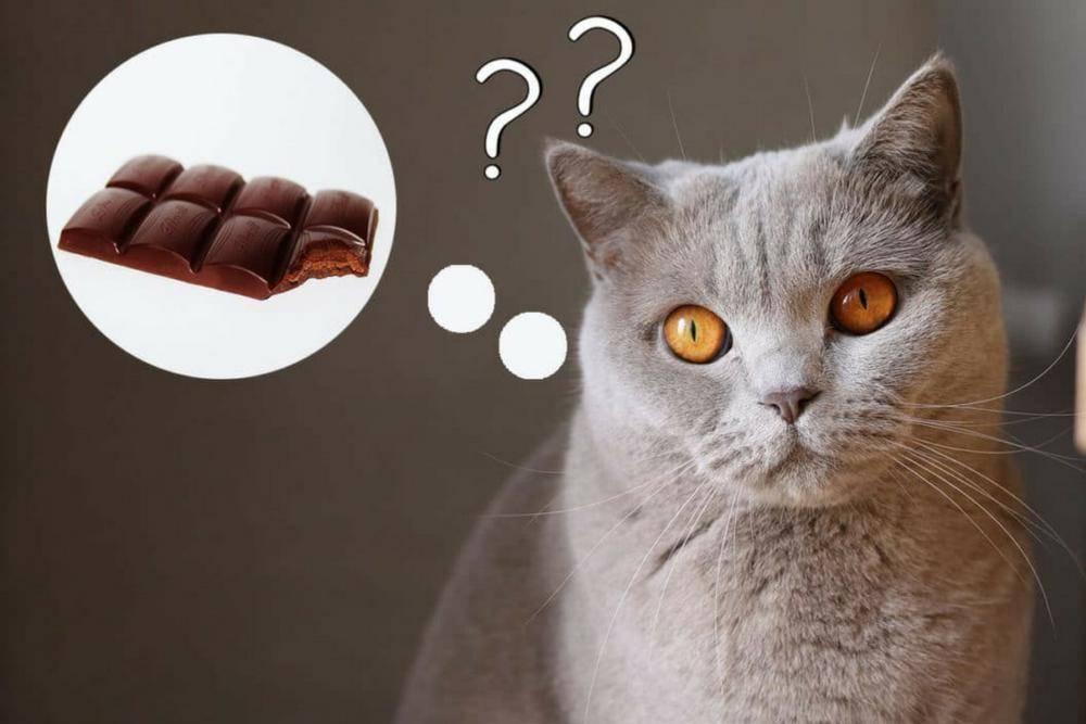 Можно ли кошкам сладкое – шоколад, мороженое, а если нельзя, то почему?