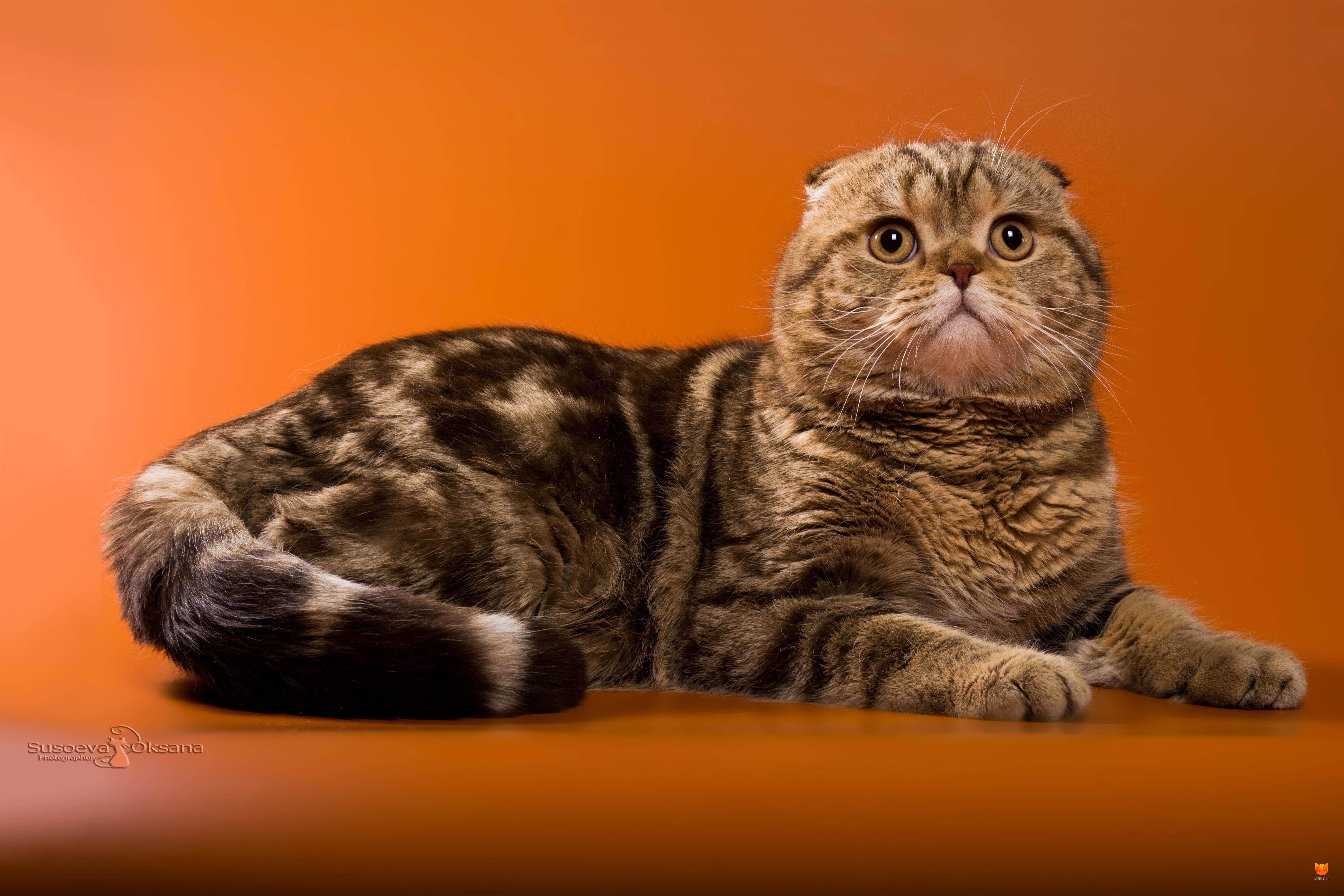 Шотландская вислоухая кошка: цена или сколько стоит кот, фото представителей породы