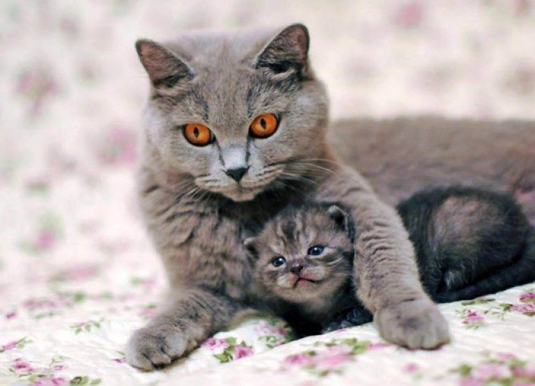 Размножение шотландских кошек: вязка, беременность и роды