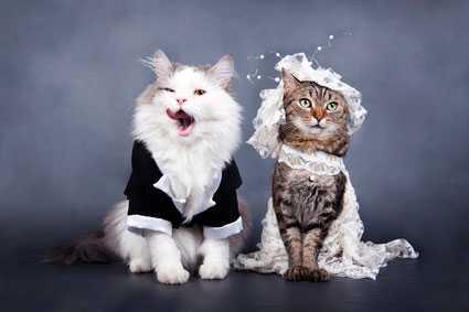 Вязка шотландских вислоухих кошек – как получить здоровое потомство?