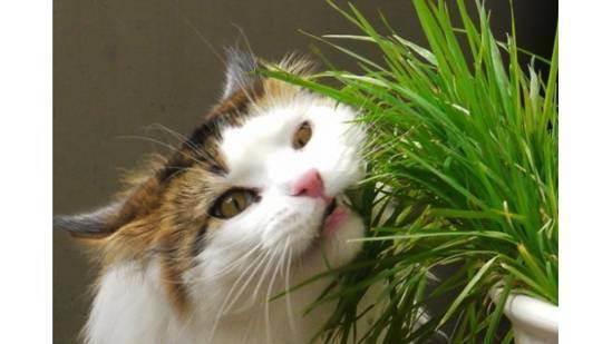 Грязные уши у кота: причины, что делать?