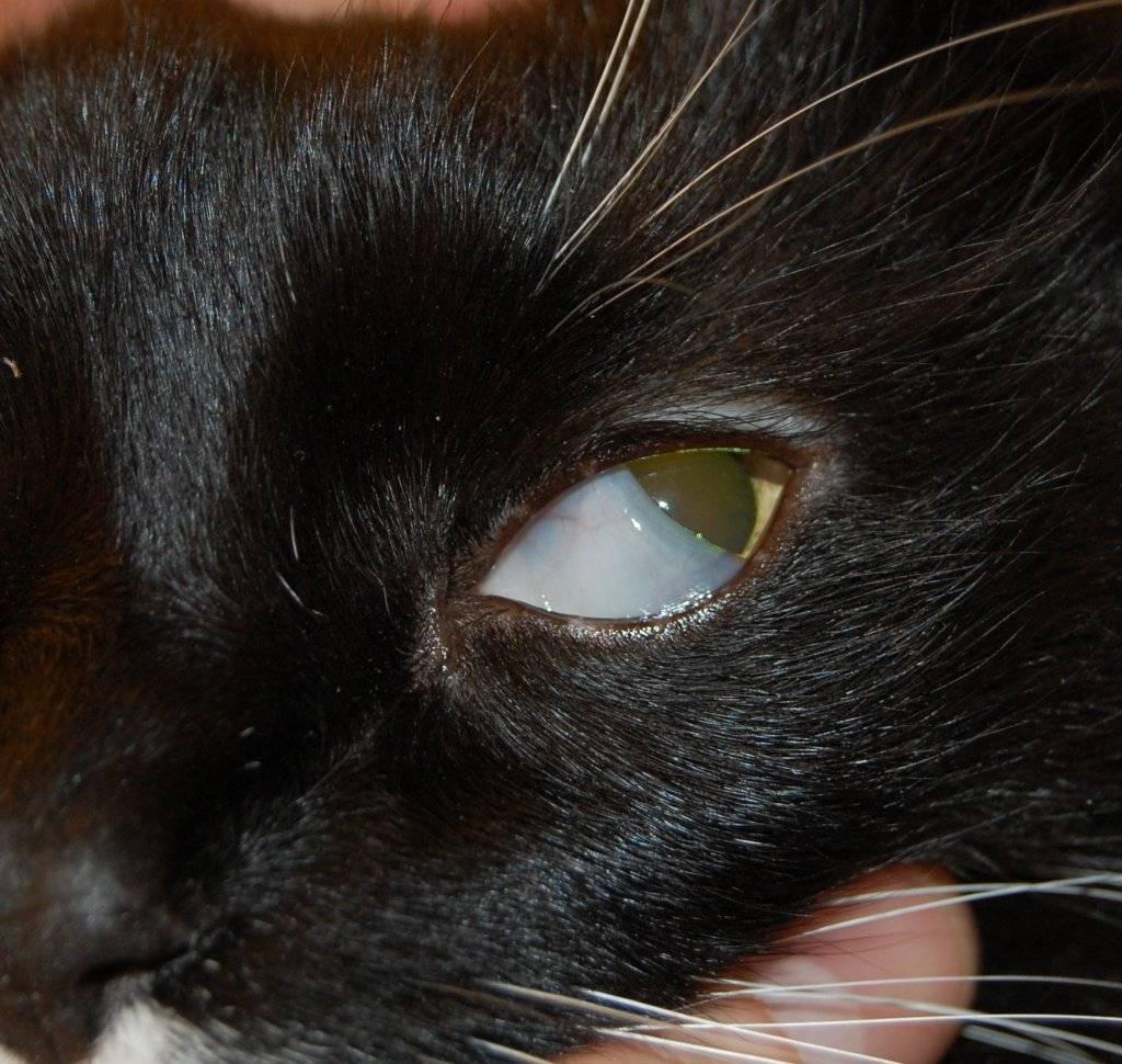 Что такое третье веко у кошки: причины и лечение