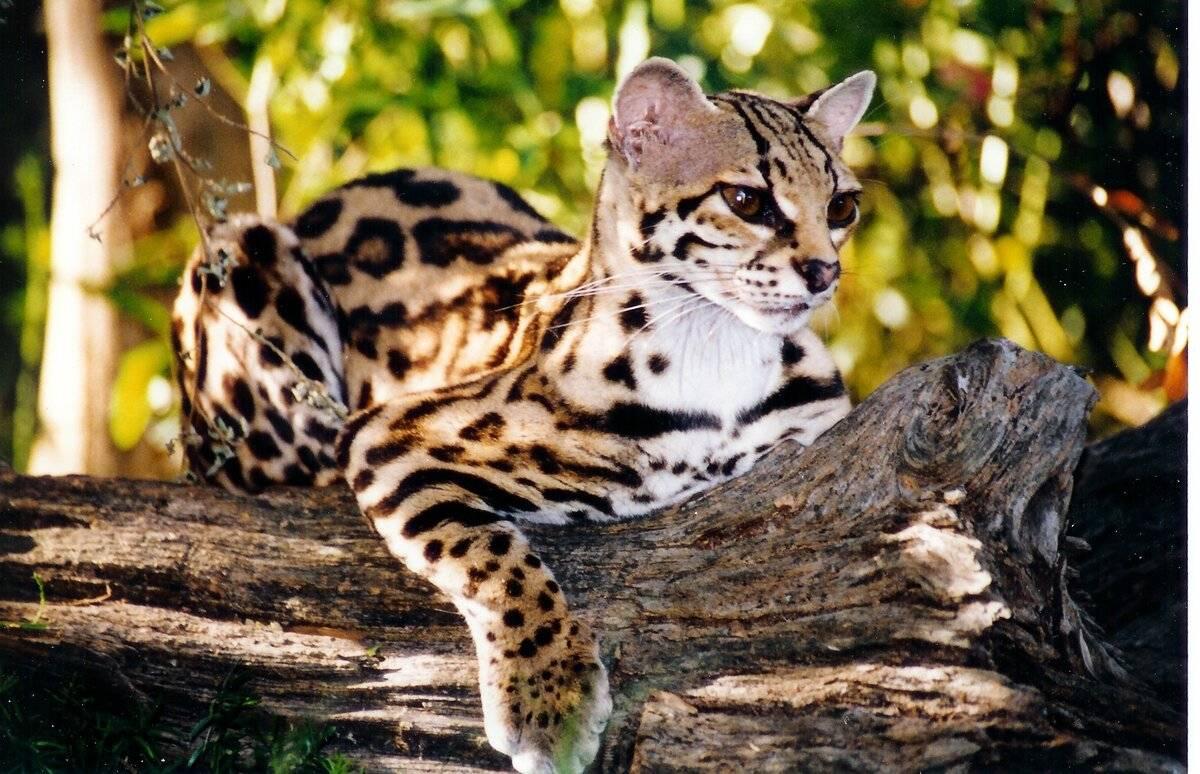Дикие кошки: названия видов, описания внешности и характера, фото