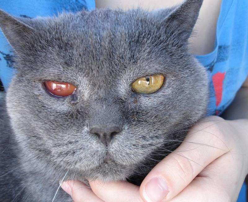 Почему у кошки слезится один глаз: причины, что делать, лечение