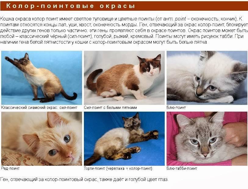 Как различить тайских и сиамских кошек?