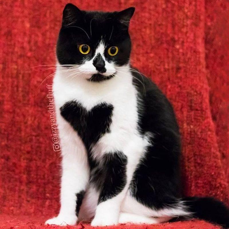 Гладкошерстные кошки: названия, фото, описание (50 пород)