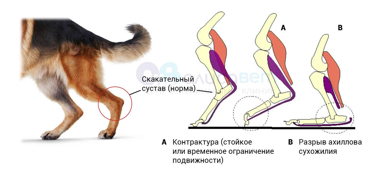Кошка хромает на заднюю лапу без видимых повреждений, что делать?
