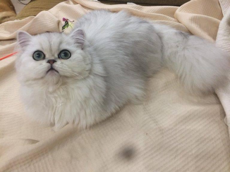 Сколько лет живет персидская кошка — о животных на чистоту