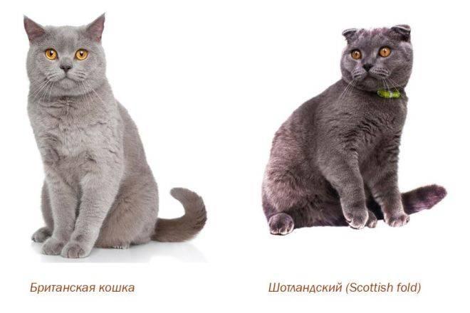Породы британских и шотландских кошек: общие черты и отличия