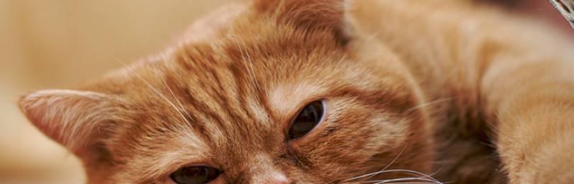 Анемия у кошек: лечение, симптомы, препараты  | zoosecrets