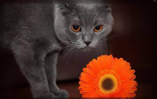 Русскаяголубая кошка.