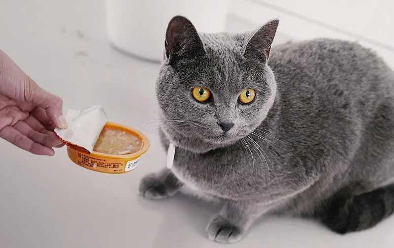 Британские котята: уход и воспитание
