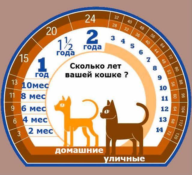 До какого возраста коты и кошки разных пород растут, 1 кошачий год – это сколько лет по человеческим меркам?