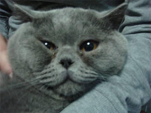 У шотландской вислоухой кошки слезятся глаза: что делать, причины, как помочь питомцу в домашних условиях