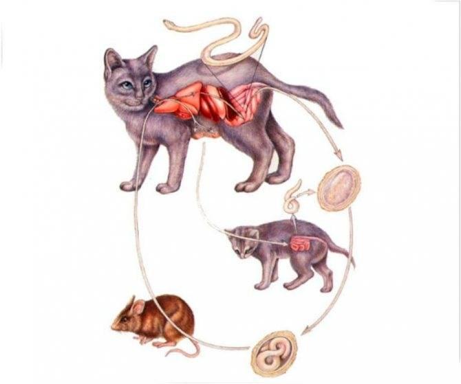 Если у кота глисты может ли заразиться человек: как передаются глисты человеку от кошки