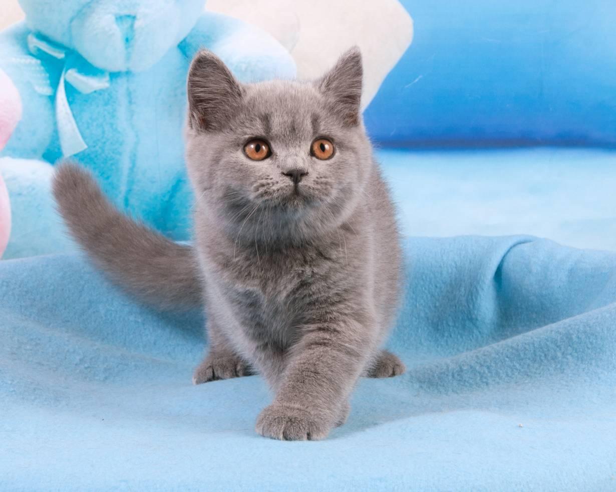 Сколько стоит шотландский вислоухий котенок в россии?